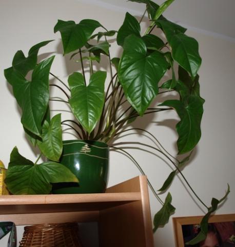 Filodendron ucho s onia philodendron hastatum for Plantas para decoracion minimalista