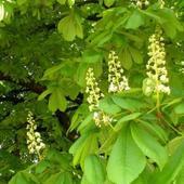 Kwitnący kasztanowiec