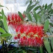 Eukaliptus citridora