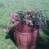 Beczka z kwiatami w moim ogrodzie ;)