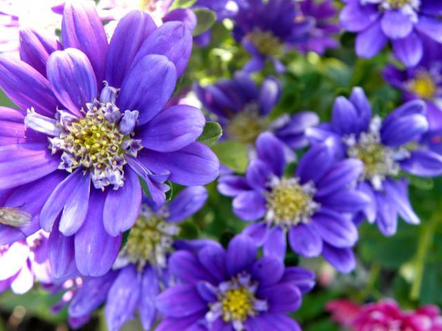 ... .pl/user_galeria/200908/duze/astry---kwiaty-jesieni_12335.jpg