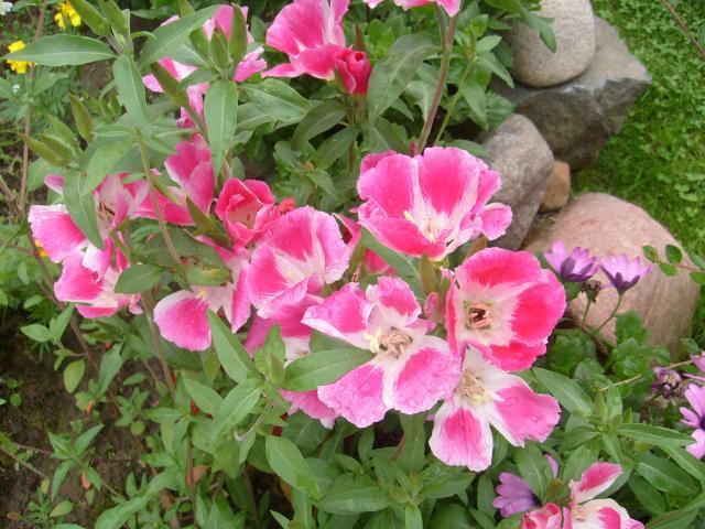godecja wielkokwiatowa