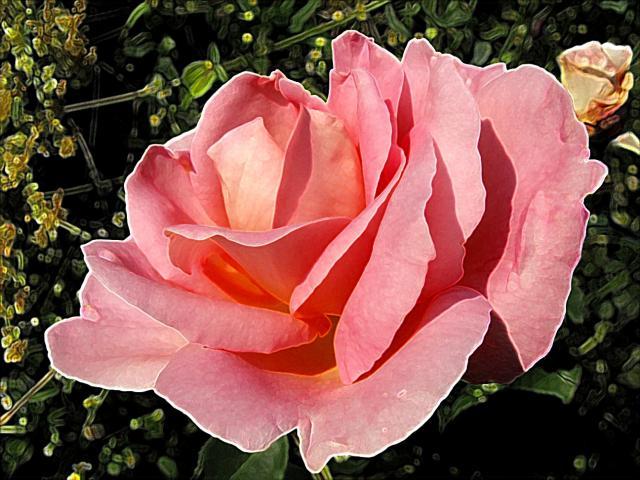 Portret róży