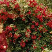 Różyczki małej ogrodniczki....