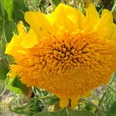 słonecznik ogrodowy