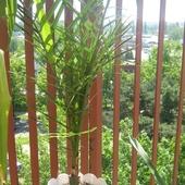 Daktylowiec kanaryjski (Feniks)