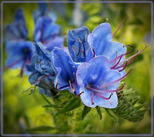 Kwiat żmijowca  (Echinum vulgare)