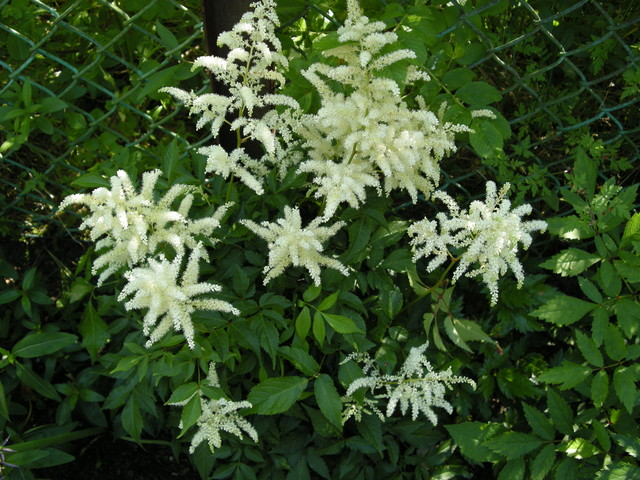Tawułka ogrodowa biała