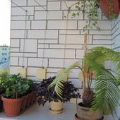 żółty cykas robi się zielony na balkonie:-)