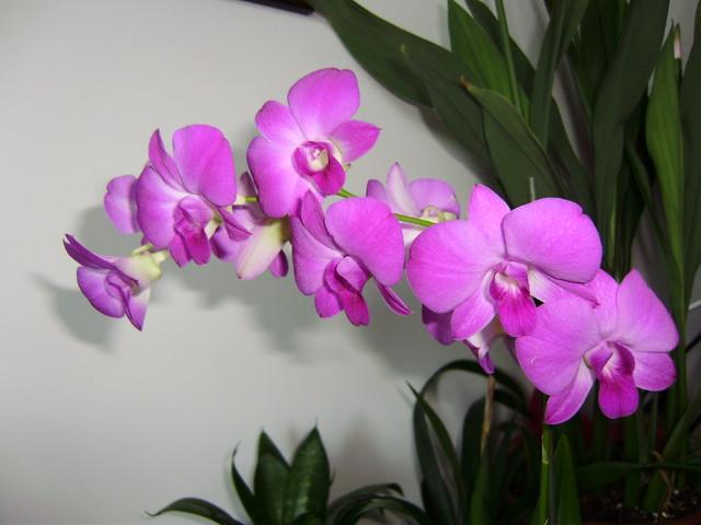 Orchidea+dendrobium