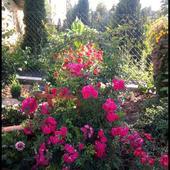 Róża pnąca:)