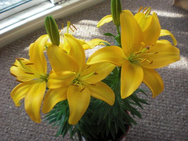 lilia doniczkowa