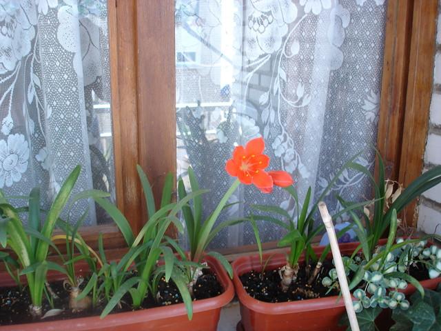 Pin hippeastrum dodano 2010 01 26 0104 projektoskoppl on for Amarilis decoration