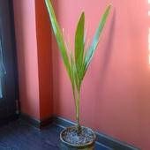 Palma daktylowa wyhodowana z pestki
