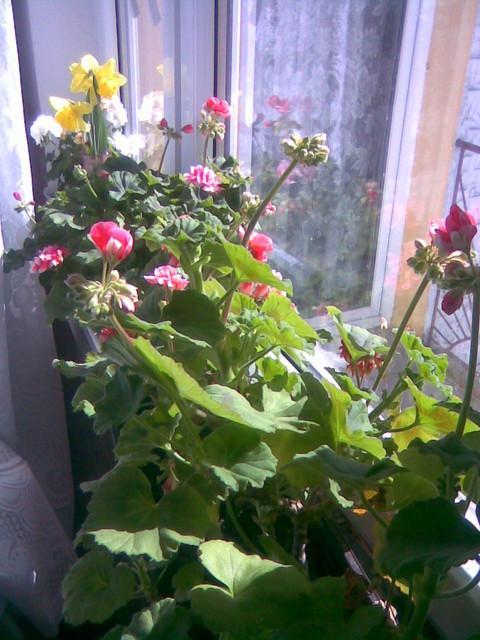 kwiaty balkonowe  Pelargonie