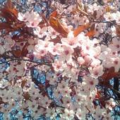Śliwa dziecięca (Prunus cistena)