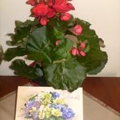 Kwiat urodzinowy dla mojej mamy ....Begonia elatior a przypomina różę. Dzięki za odwiedziny! Pozdrawiam!