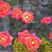 róża rabatowa wielkokwiatowa