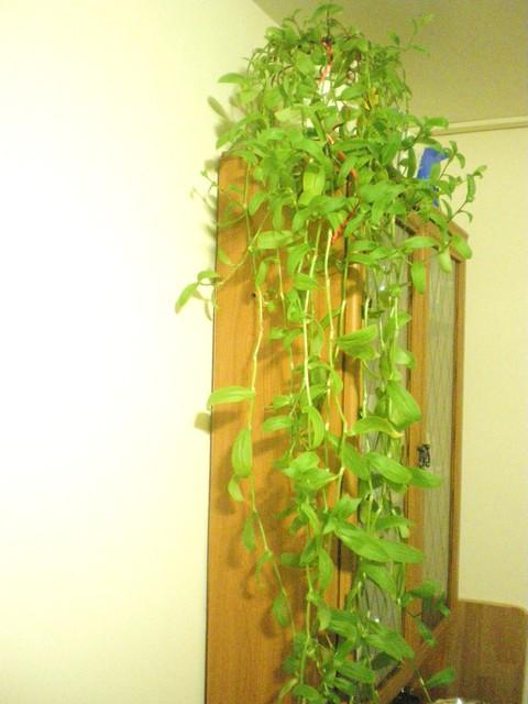 Trzykrotka zielona