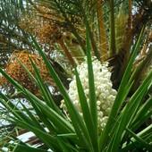 Yucca i daktylowiec