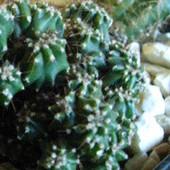 Cereus peruvianus monstrose (podobno)