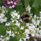 Kwiat melisy ogrodowej