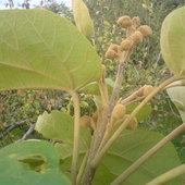Paulownia puszysta-pąki kwiatowe.