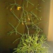 Kaktusowy patyczak zaczyna kwitnąć.