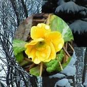 Pierwiosnek wiosny nie czyni...