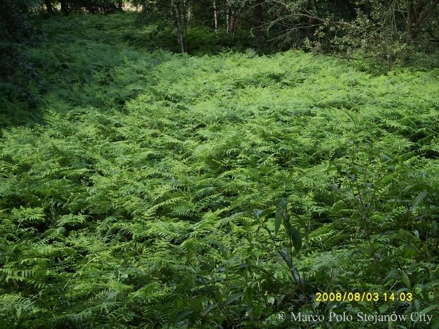 Paprocie  Leśne