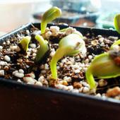 Słoneczniki-maluchy:)