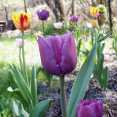Tulipany w moim ogrodzie
