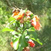 pigwa jabłkowa z pszczółką