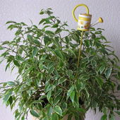 Ficus Benjamina miniaturka