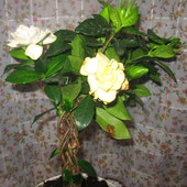 Gardenia (nowy zakup!)