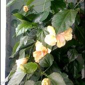 Ketmia Róża Chińska