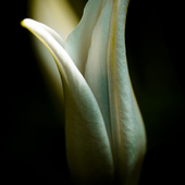 lilia