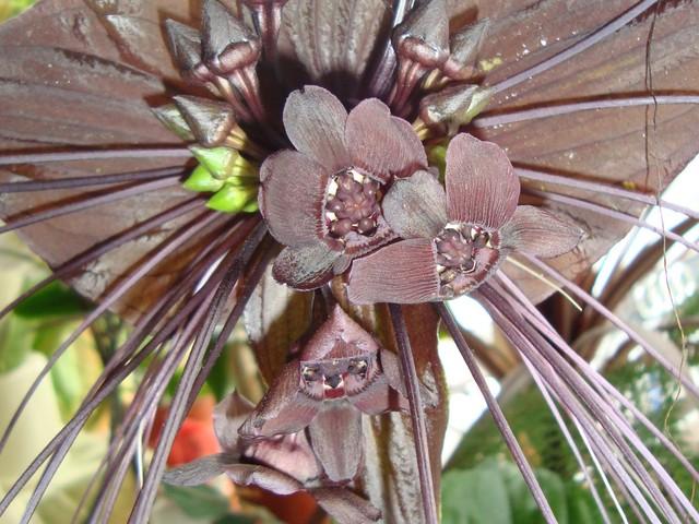 Kwiat-Nietoperz w zbliżeniu.