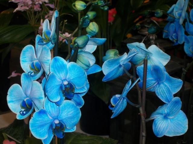 Orchidee niebieskie
