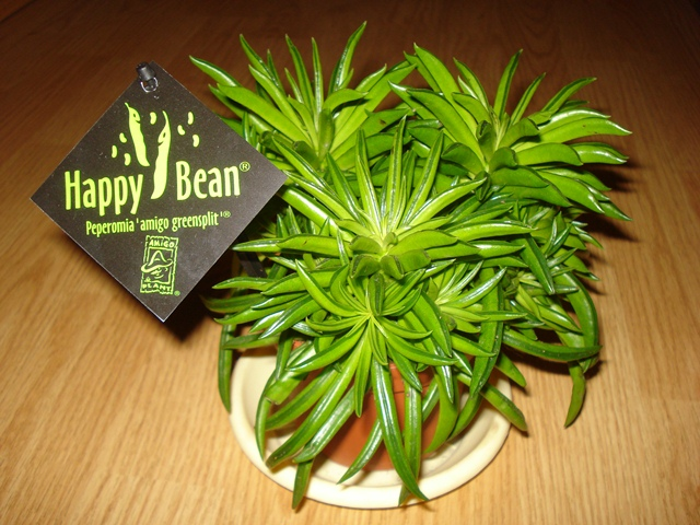 Peperomia happy bean amigo greensplit