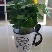 Kawusia- coffea arabica :)