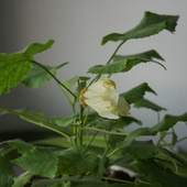 Lipka - kwiatek