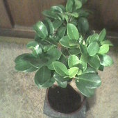 Ficus ginseng