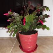 Kaktus bożonarodzeniowy, Grudnik, Zygokaktus, – Schlumbergera truncata