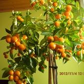 Owoce mojej mandarynki