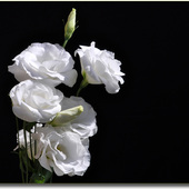Eustoma - Różomak