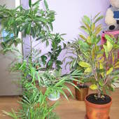 Kwiaty w moim domu,miedzy innymi Ardisia Renata(Krenata)