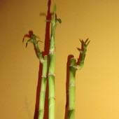 Bamboo raz jeszcze