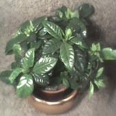 dzisiejszy prezent-Gardenia jasminoides
