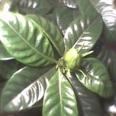 pączek kwiatowy Gardenii
